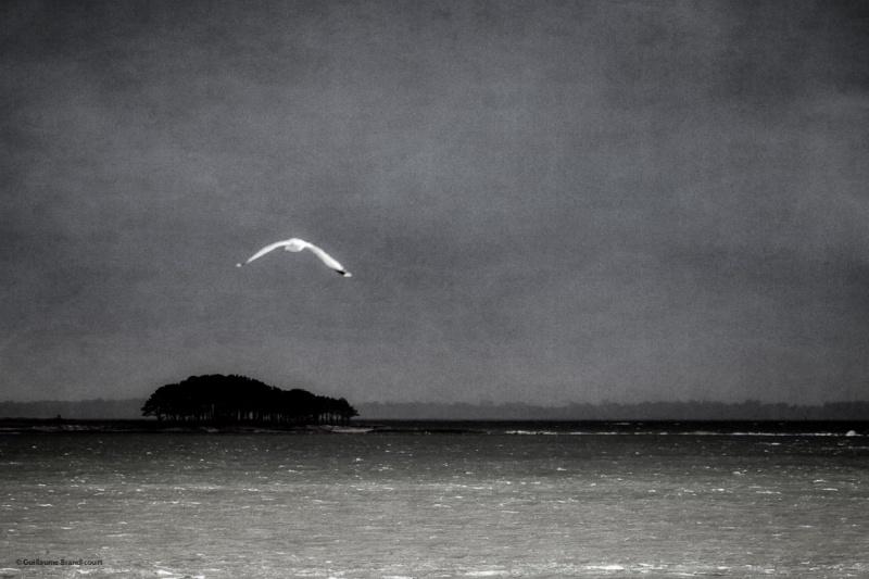 Oiseau dans le Golfe Arzon - Presqu'ile de Rhuys - Morbihan février 2014